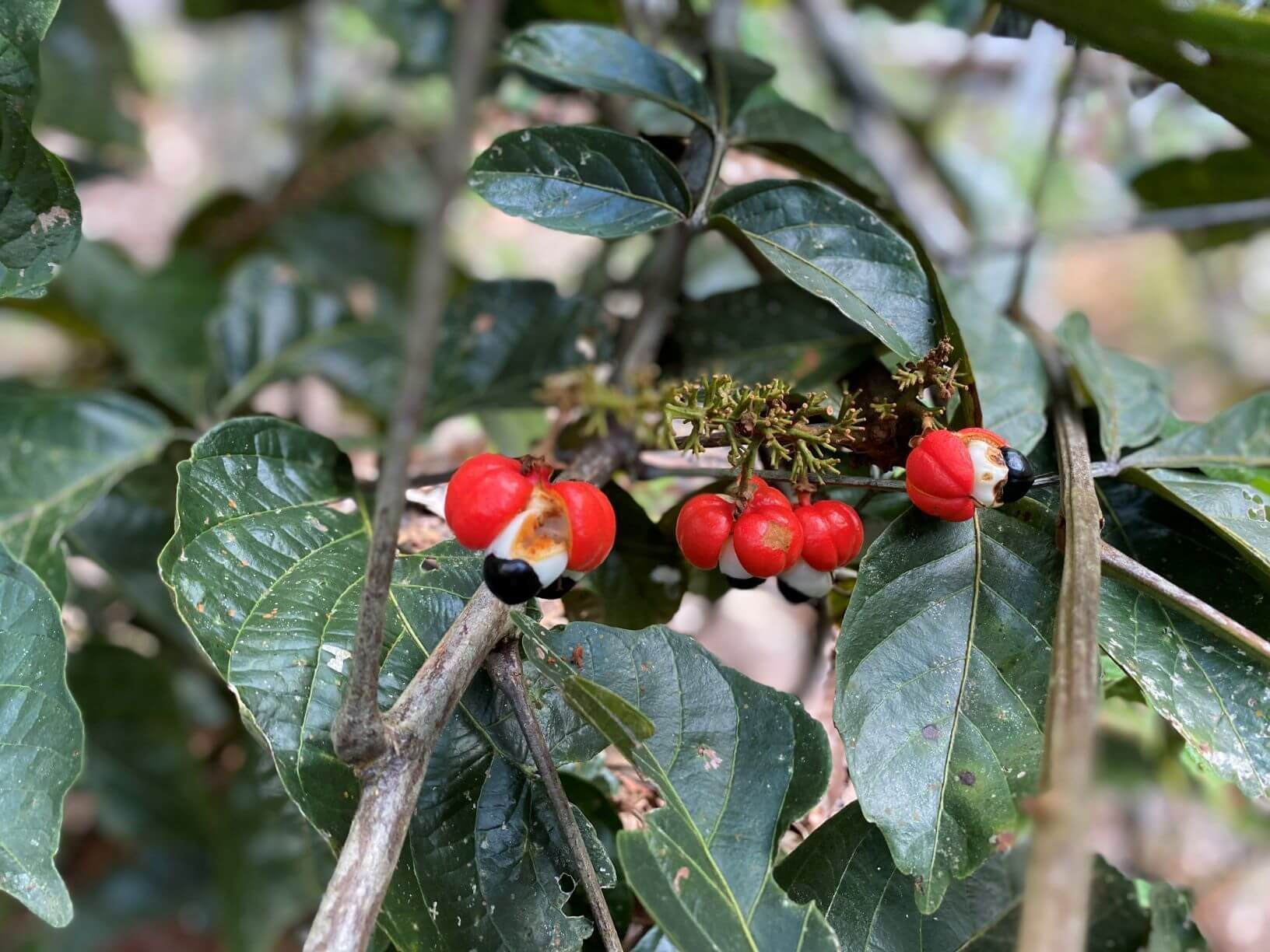 Sustainable business development in the Amazon with Guarana
